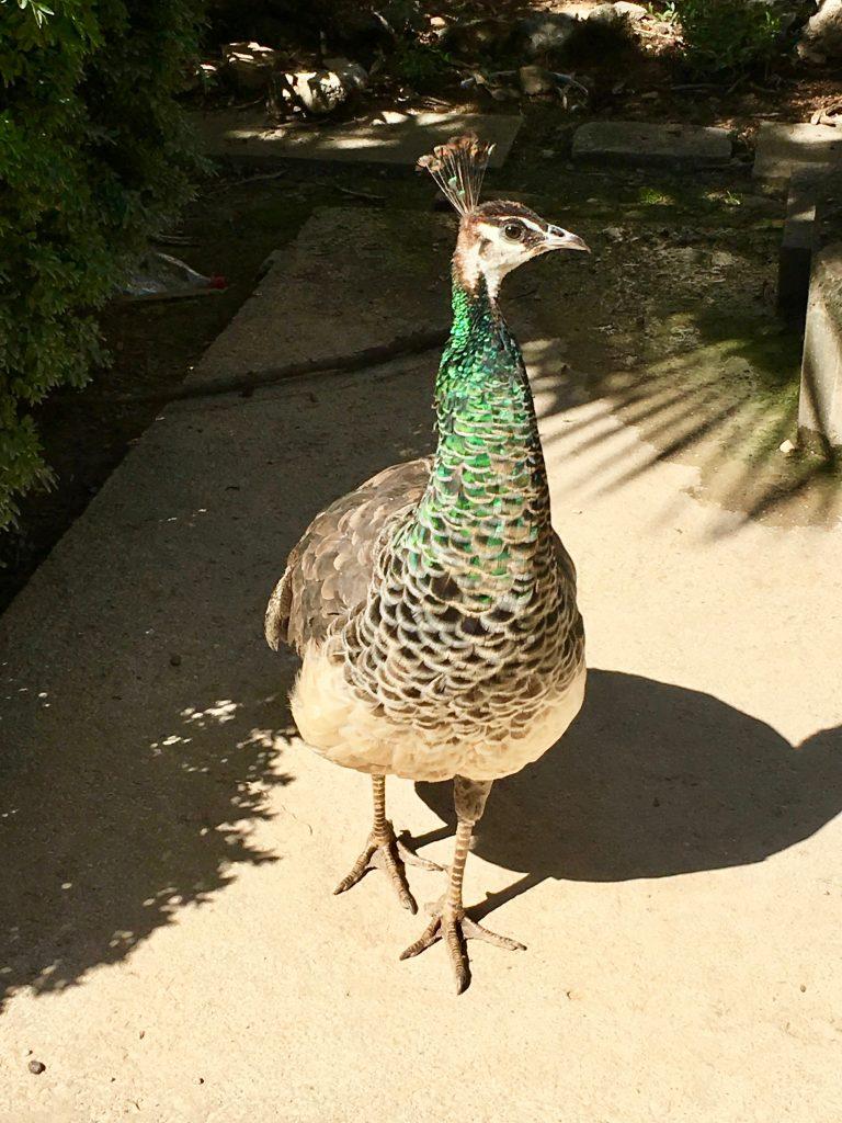 a wild peacock on Lokrum Island, Dubrovnik