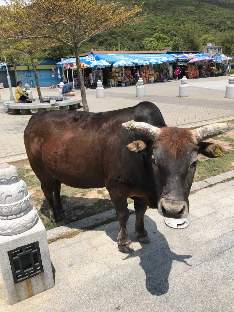 Sacred Cow standing in the street