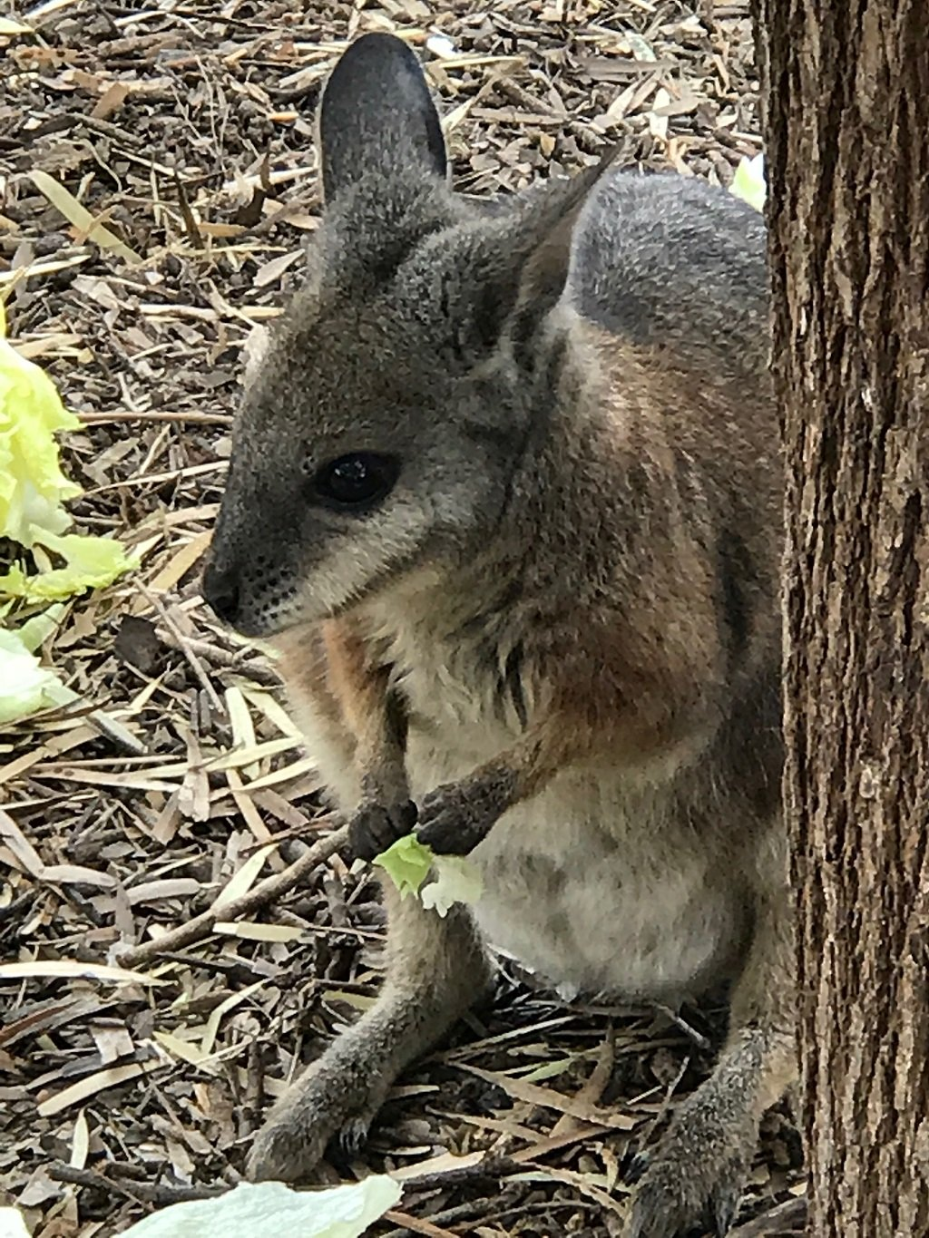 a wallaby by a tree