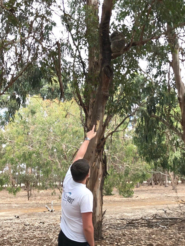 Man pointing to a koala on Kangaroo island