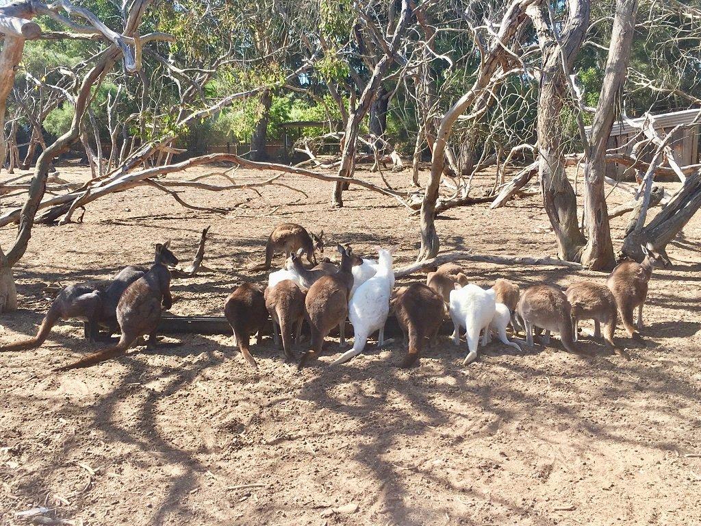 kangaroos feeding