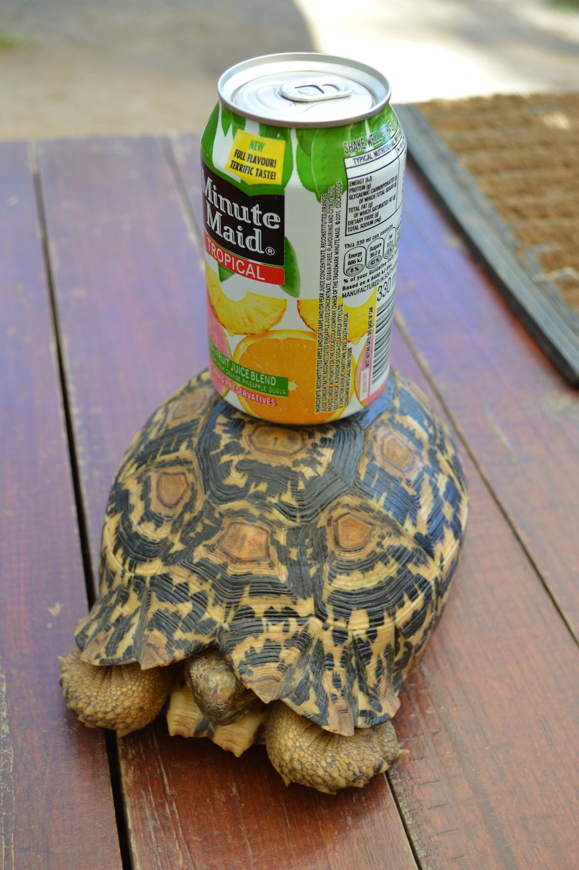 A tortoise in the bush