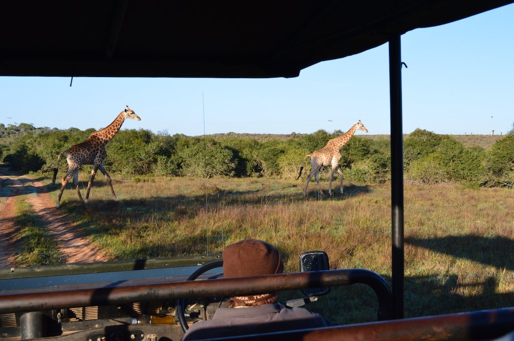 Viewing a giraffe on a game drive