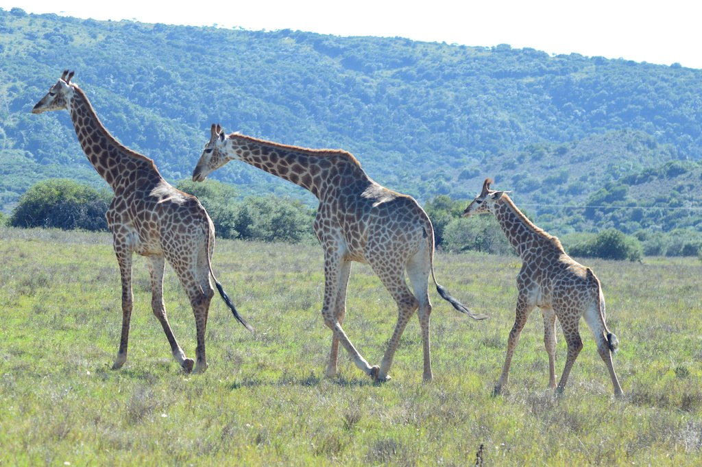 three giraffes walking behind each in Amakhala