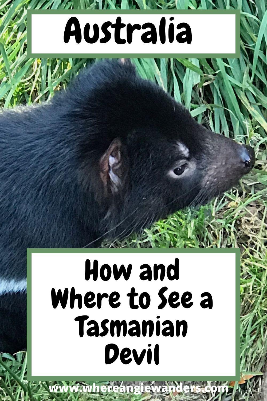 Pinterest Graphic Tasmanian Devil
