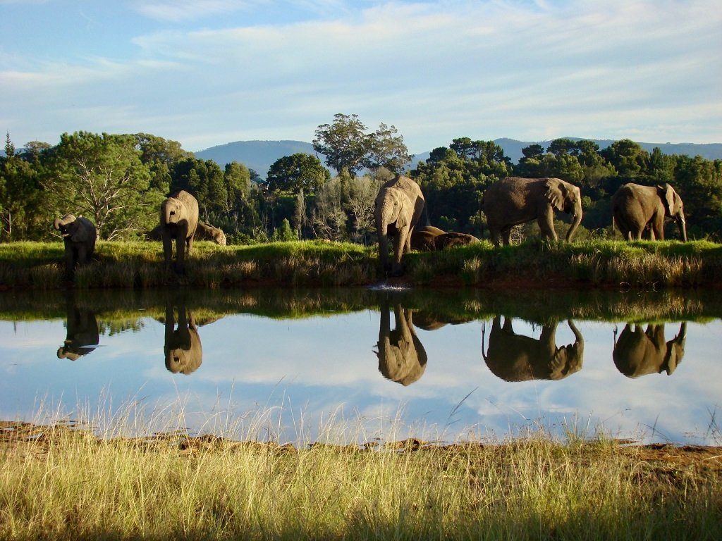 An elephant herd at the water hole in Knysna Elephant Park