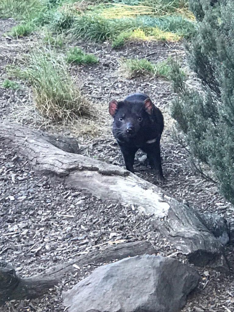 A Tasmanian devil looking at me