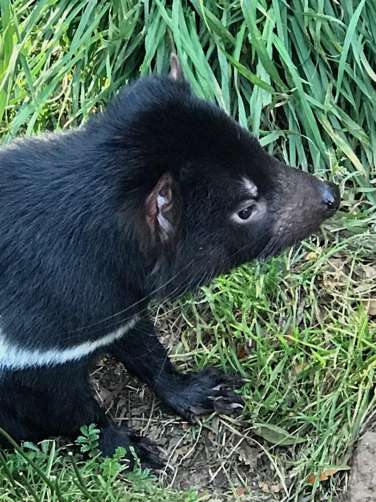 A lone Tasmanian devil