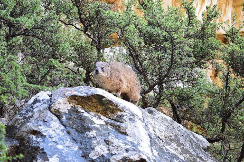 Cape Rock Hyrax animal on Table Mountain