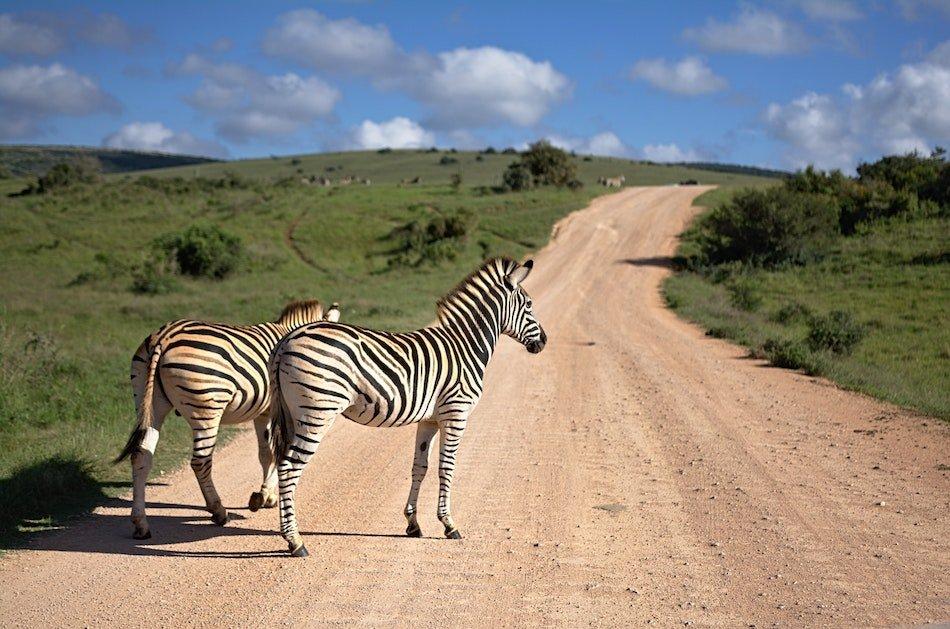 zebras at Amakhala game reserve