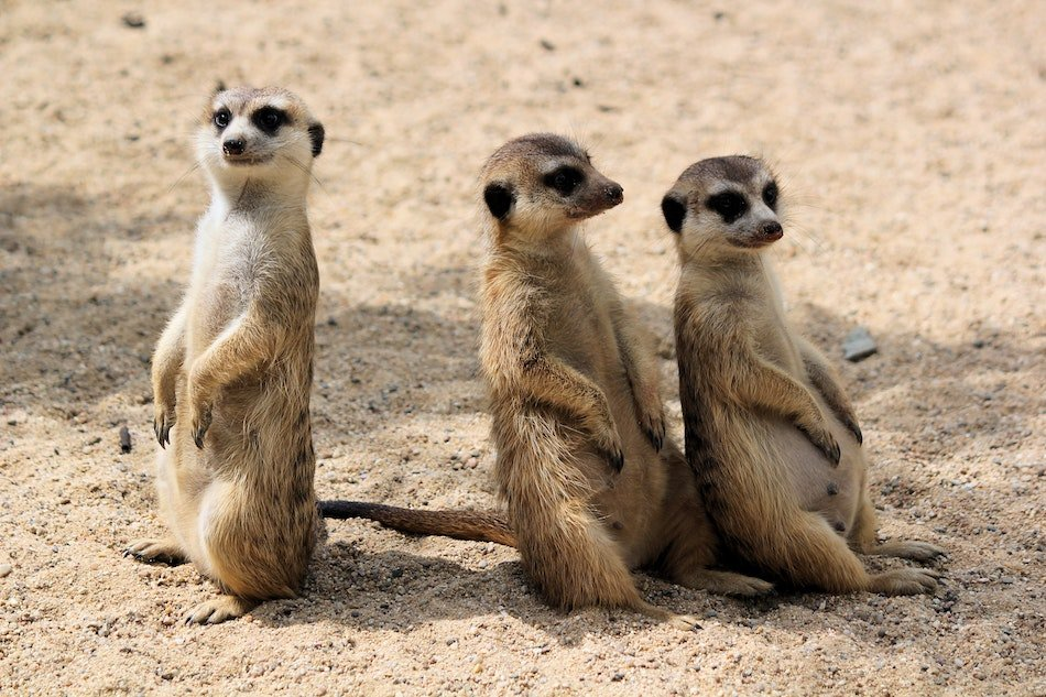 an ethical animal encounter with 3 Meerkats looking out over the park