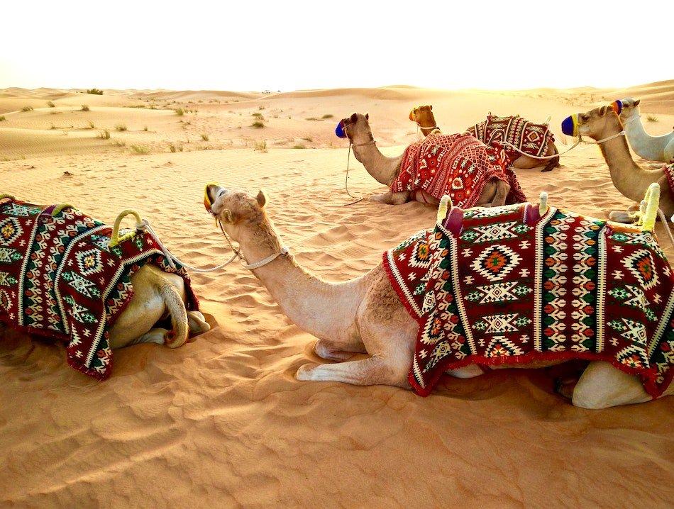 Camels sitting in the Dubai desert