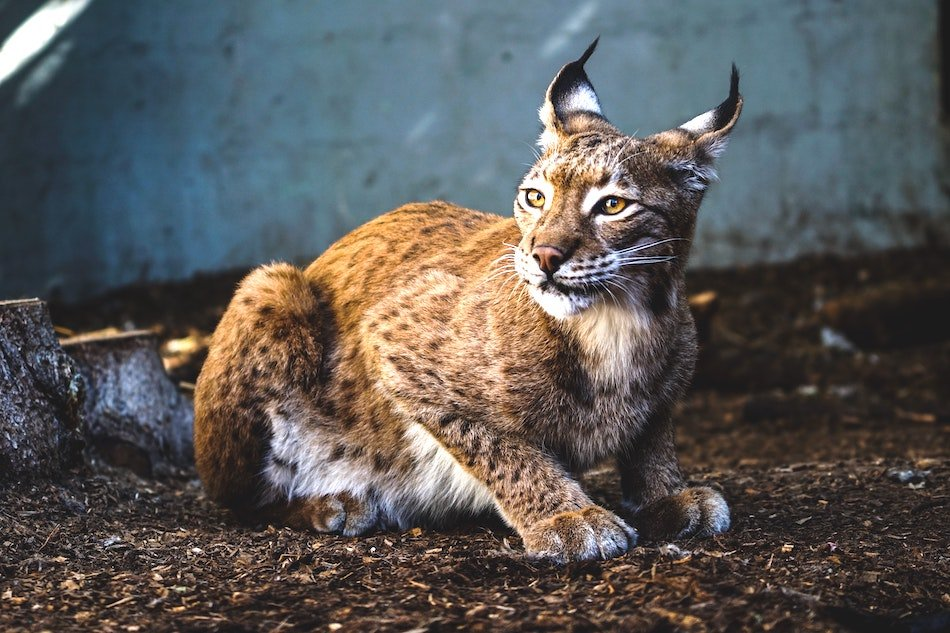 Lynx Cat at Tenikwa Ethical encounter