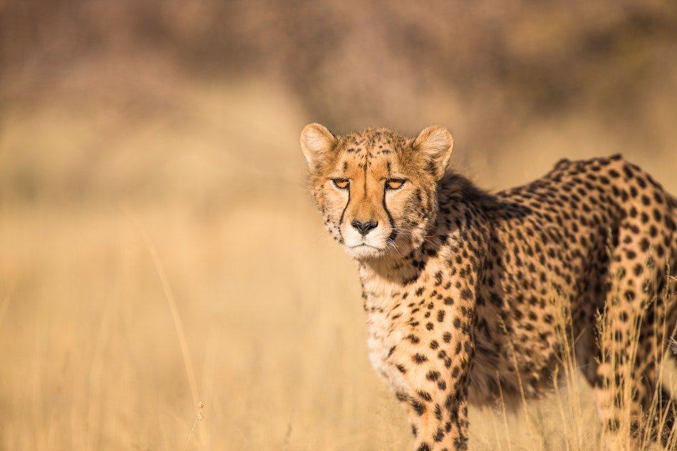 A cheetah at Tenikwa ethical encounter centre