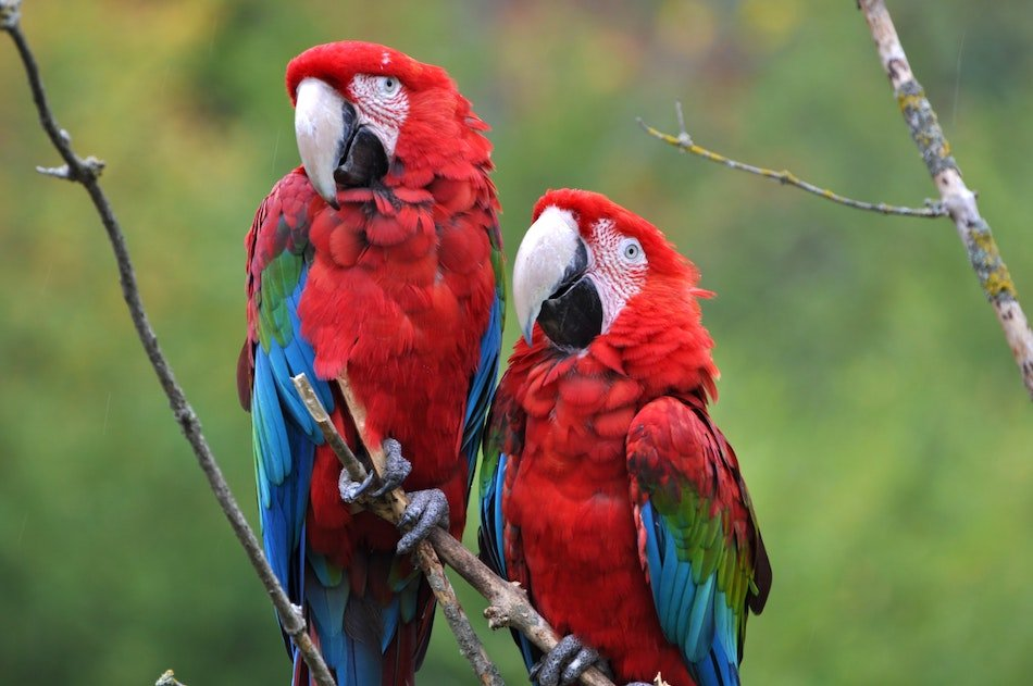 Parrots on a branch in birds of Eden