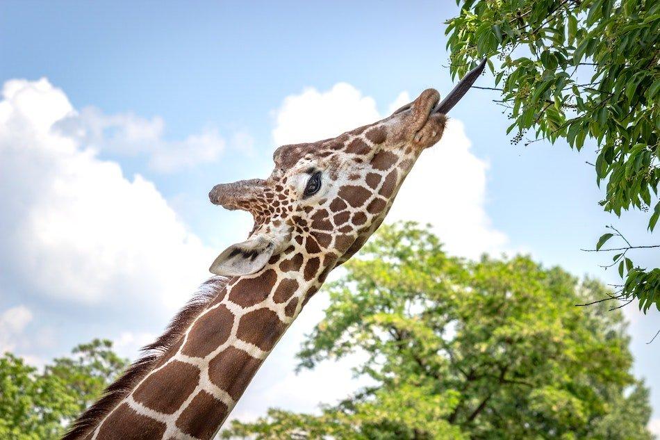 Giraffe eating leaves in an ethical animal encounter