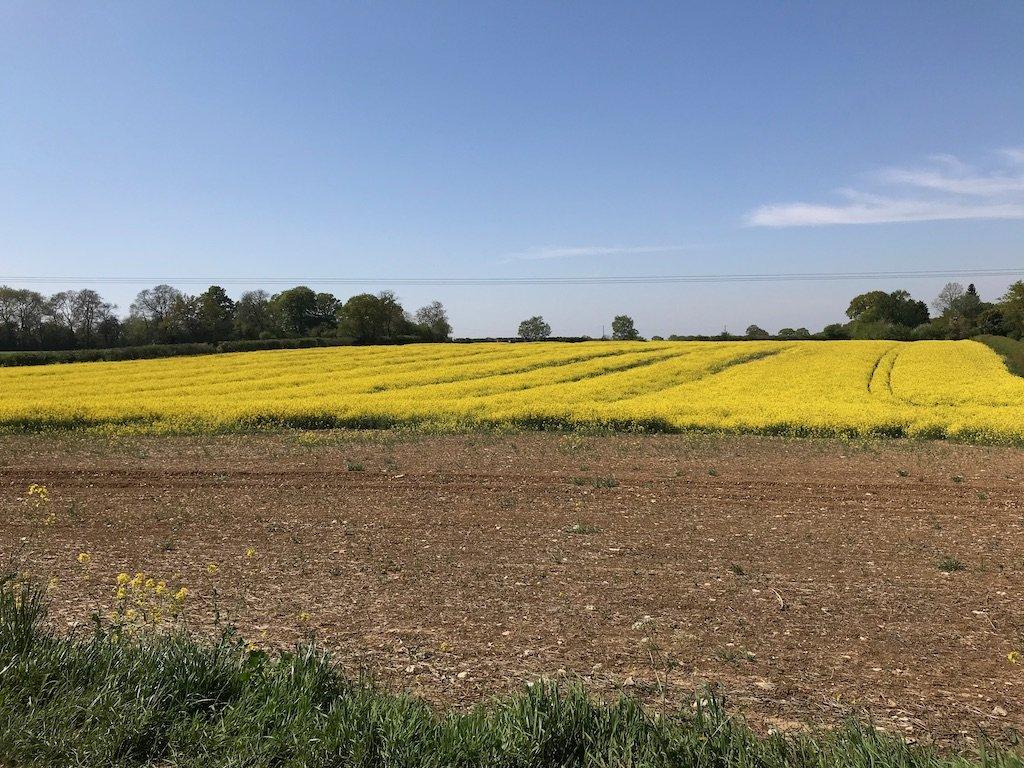 rapeseed field oil