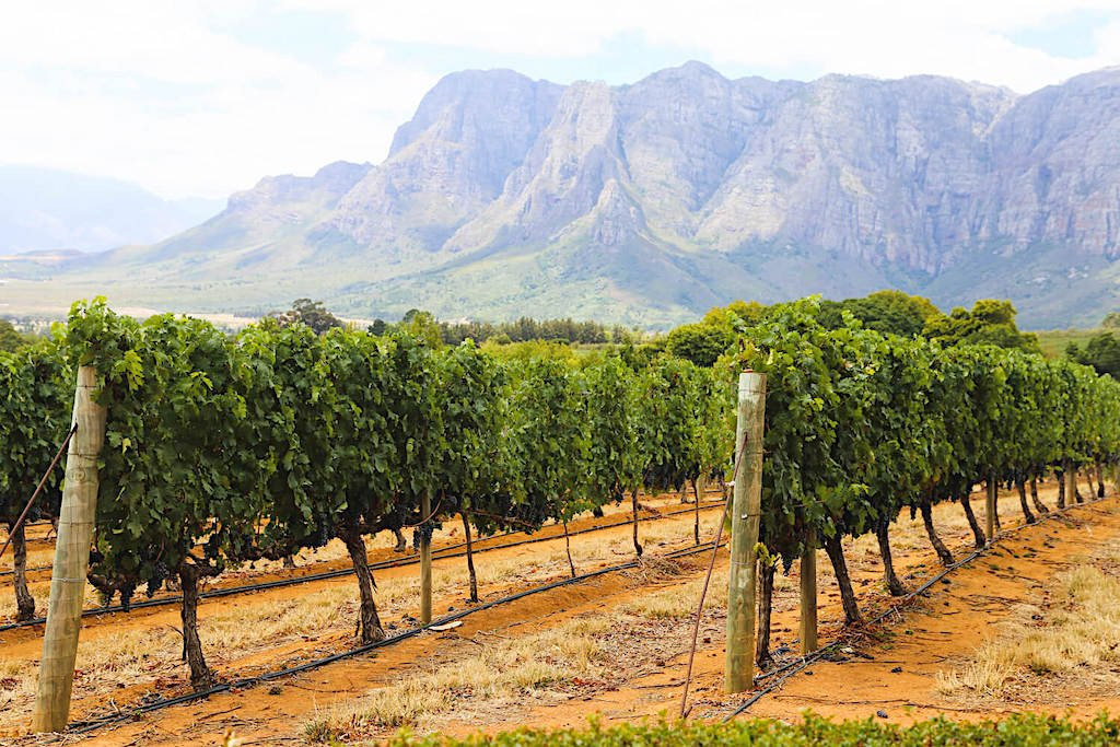 A vineyard with a mountain in the Cape Winelands