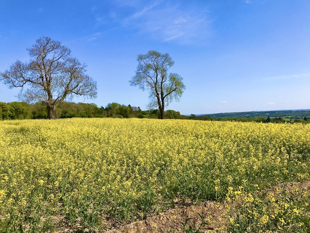 a yellow rapeseed oil field with two trees
