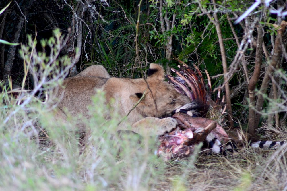 Lion feeding on the carcass of a zebra