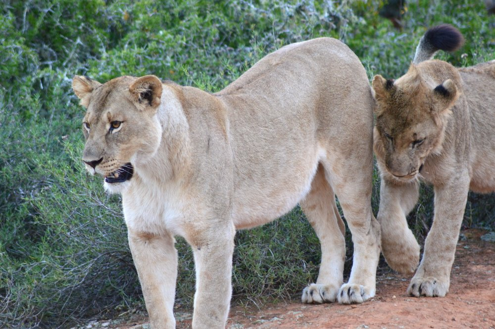 Two female lions walking along the path