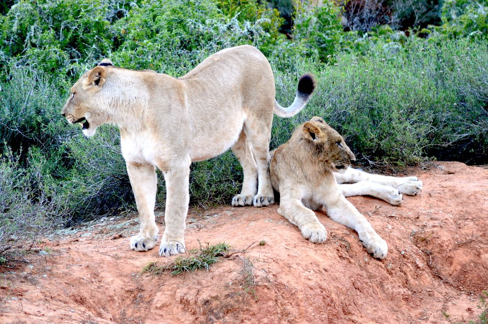 two female lions together on a rock