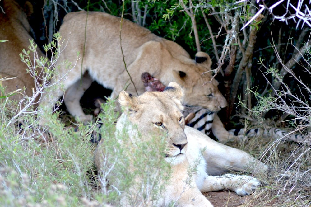 Two lions feeding on a zebra carcass