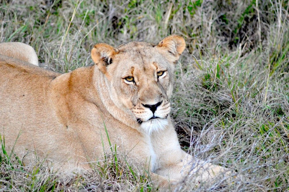 A lioness on guard