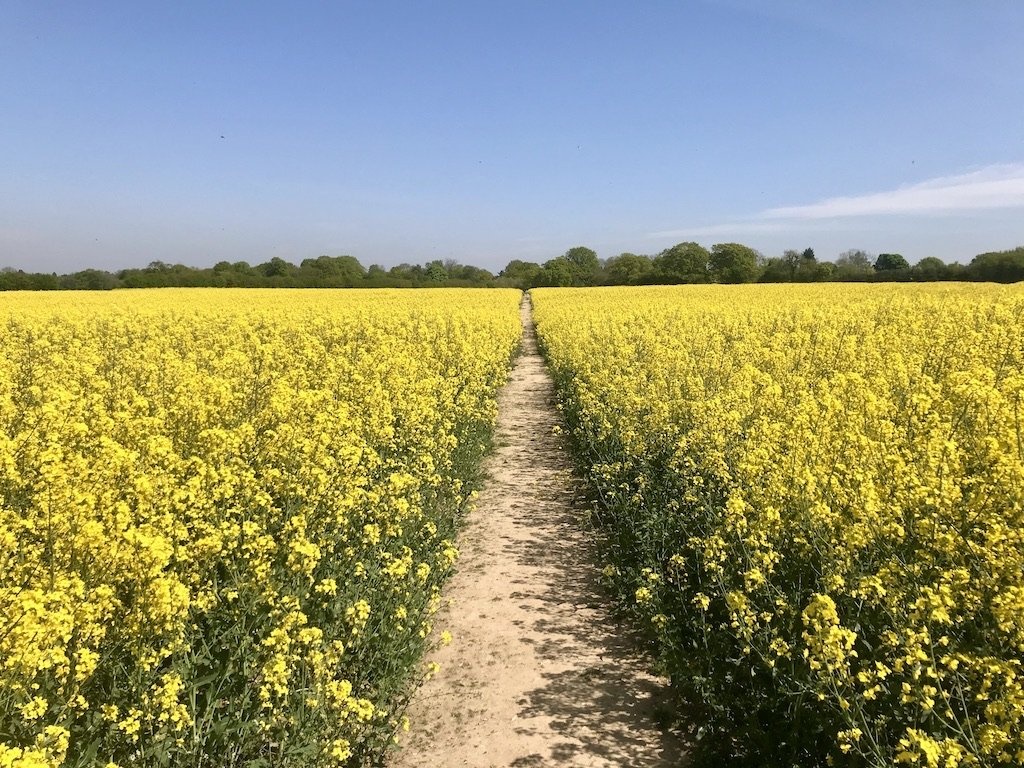 Pathway of rapeseed oil plants