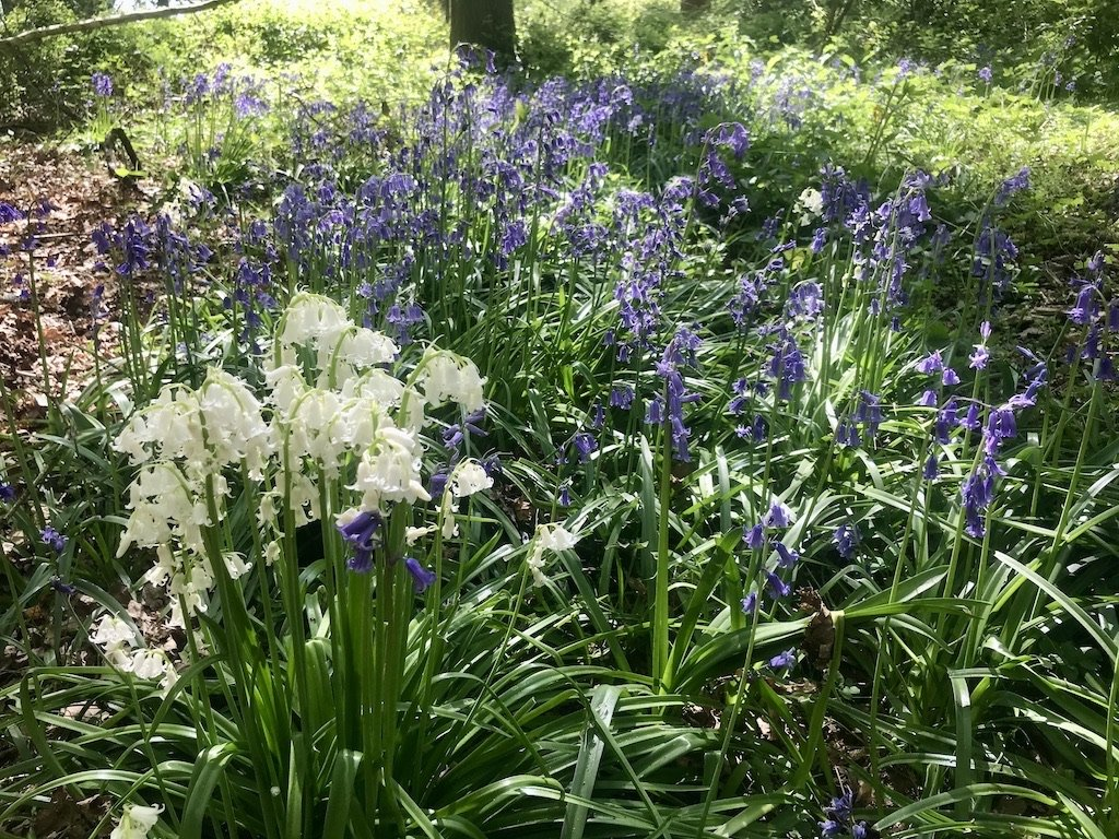 close up of bluebells and whitebells