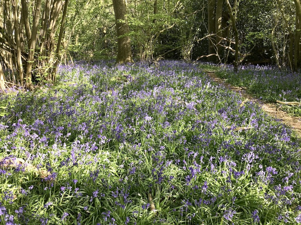 An ancient woodland floor covered with wild bluebells