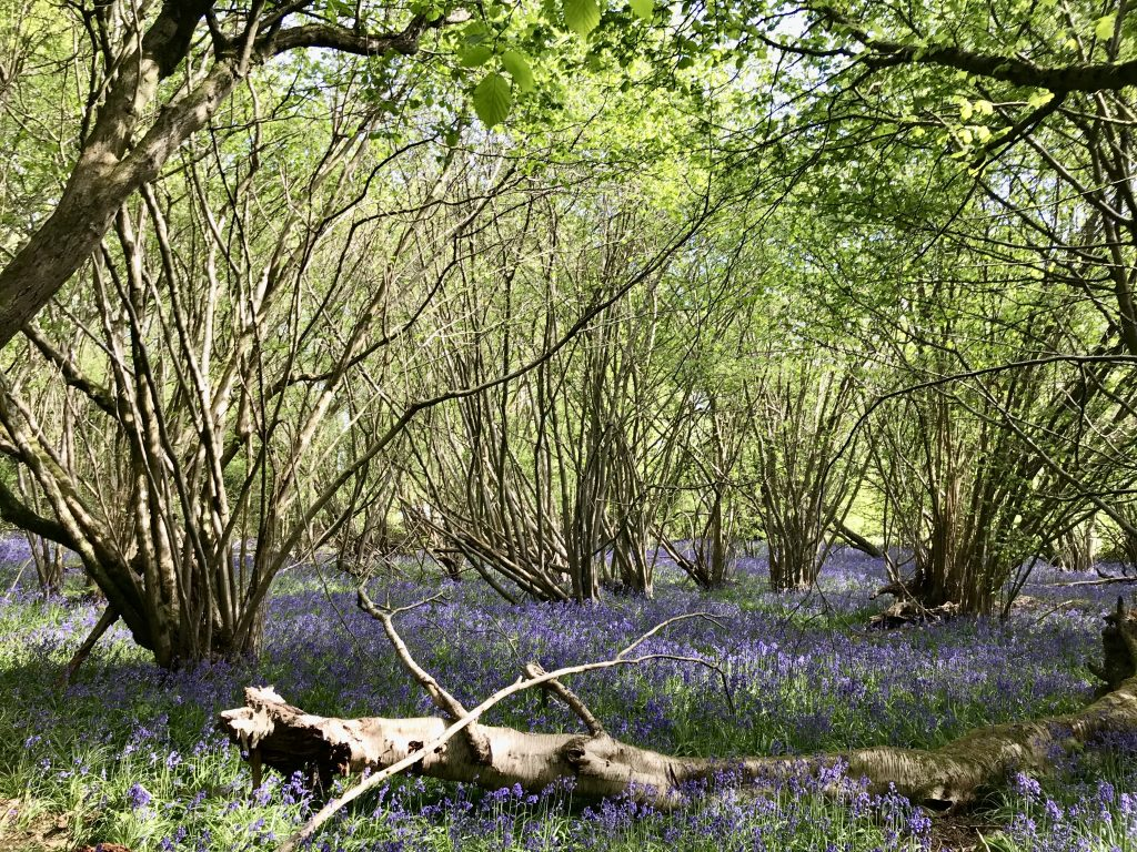 Bluebell woods with fallen tree