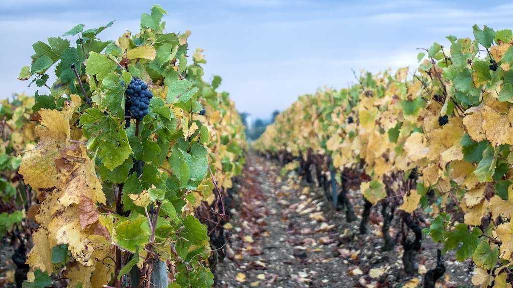 view of a vineyard in Burgundy
