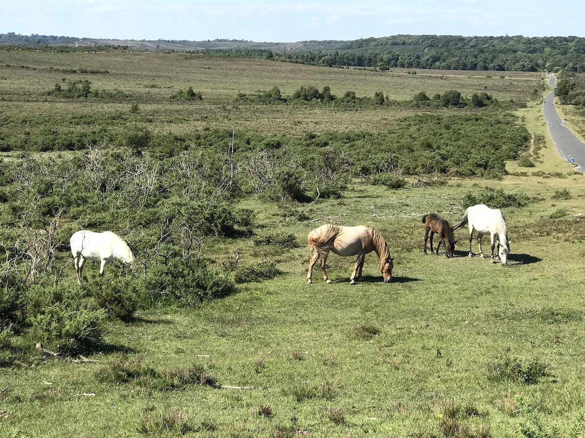 Ponies grazing in the New Forest