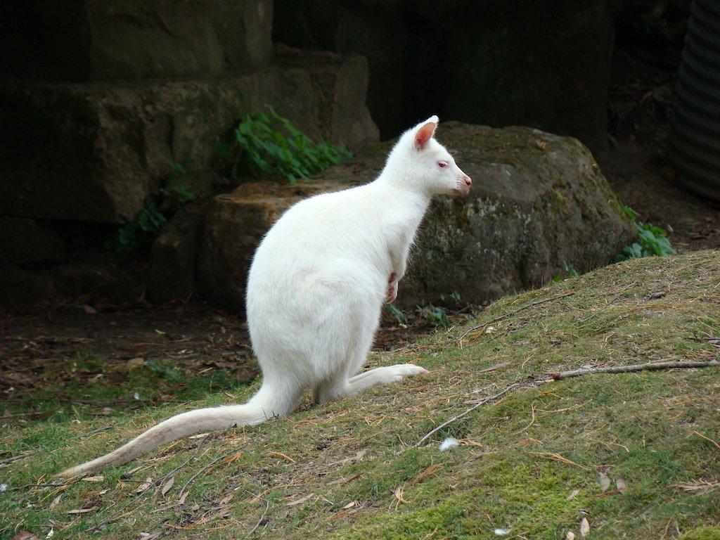 Albino white wallaby