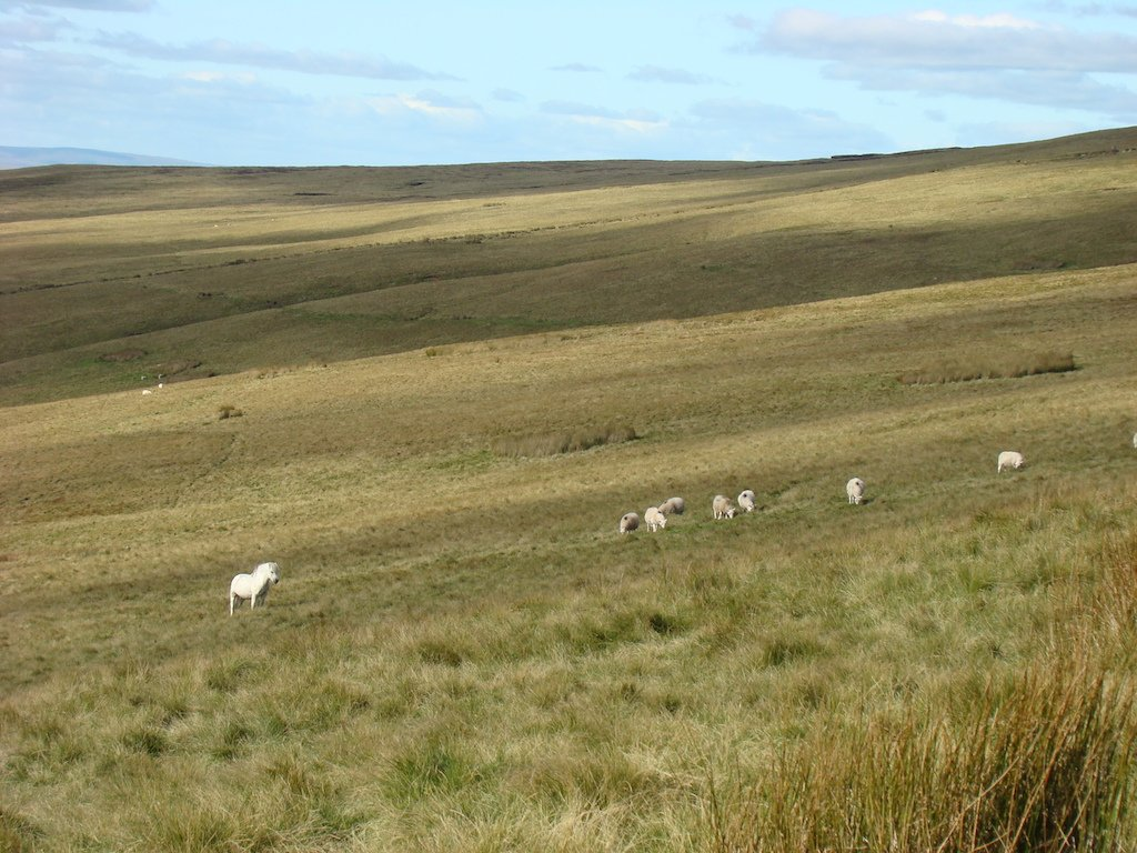 white horse and sheep on a mountain
