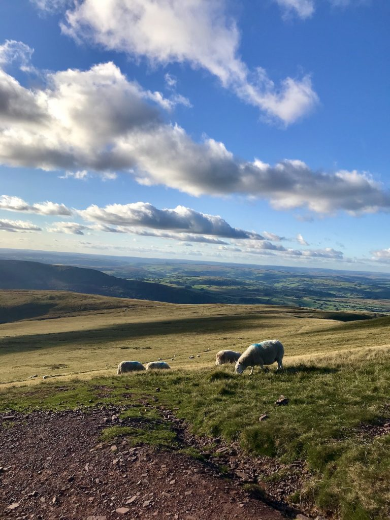 Sheep on Pen y Fan Mountain