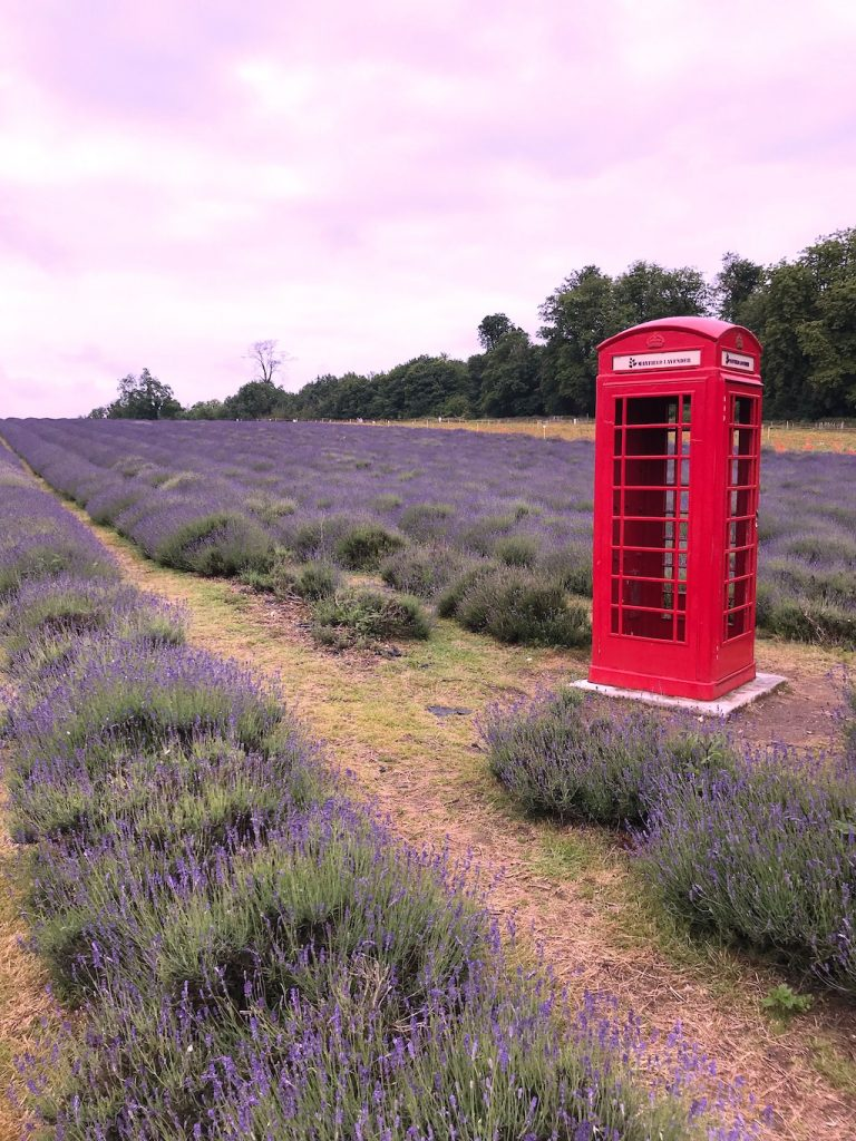 A red London phone box standing in the lavender fields