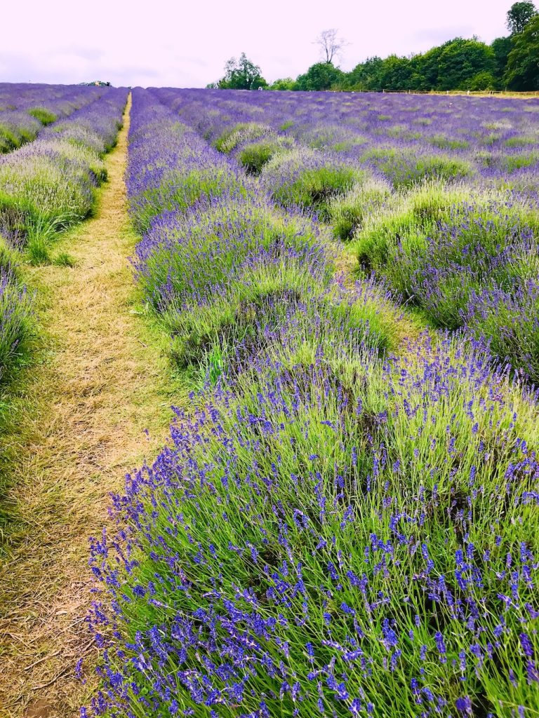 Rows of lavender plants in the field at Mayfield Farm