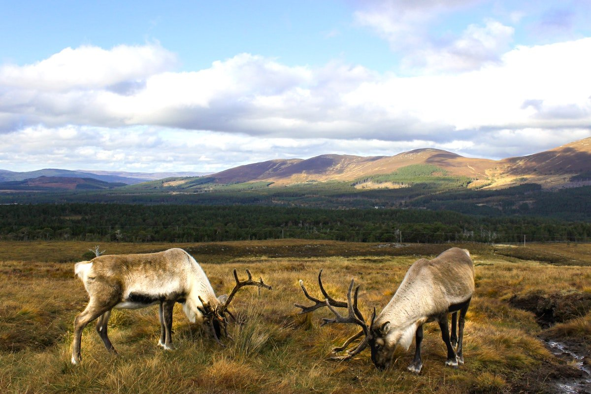 Two stags in the Cairngorms National Park