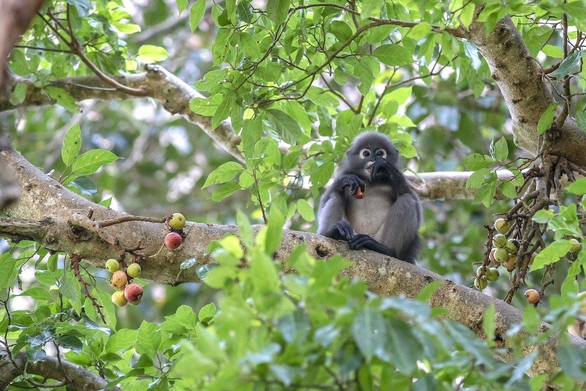 Dusky-leaf-monkey