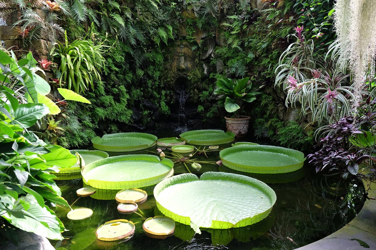Giant lily pads on a pond