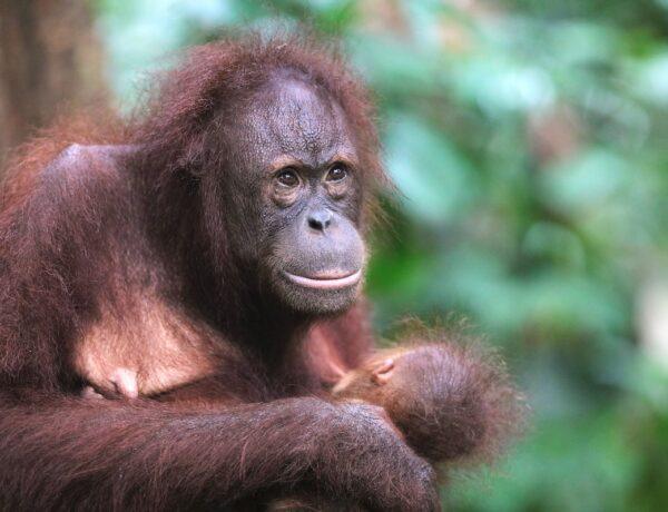orangutang in the Borneo Jungle Malaysia