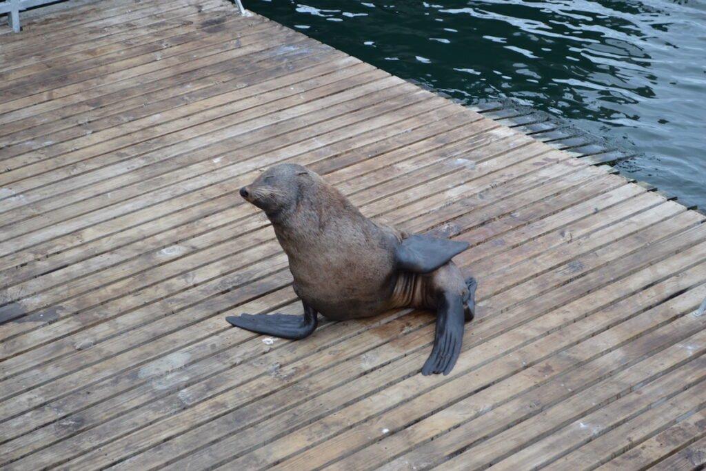 Cape Fur Seal in Cape Town