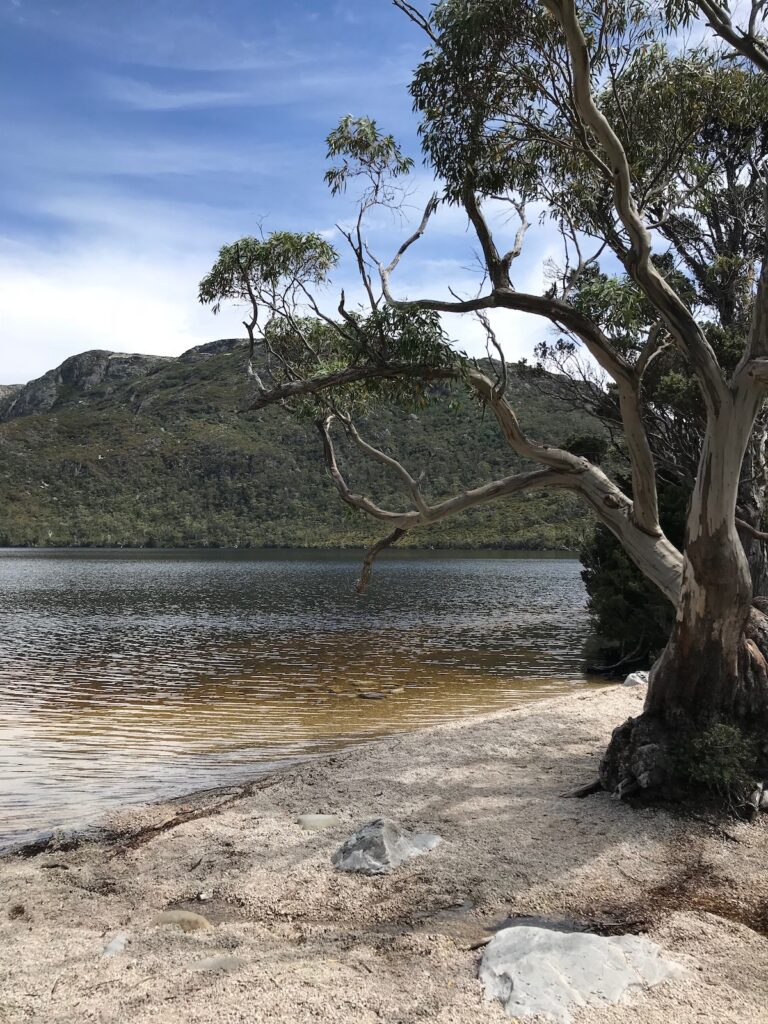 A withered tree stands beside Dove Lake on one of the beaches with Cradle Mountain in the background
