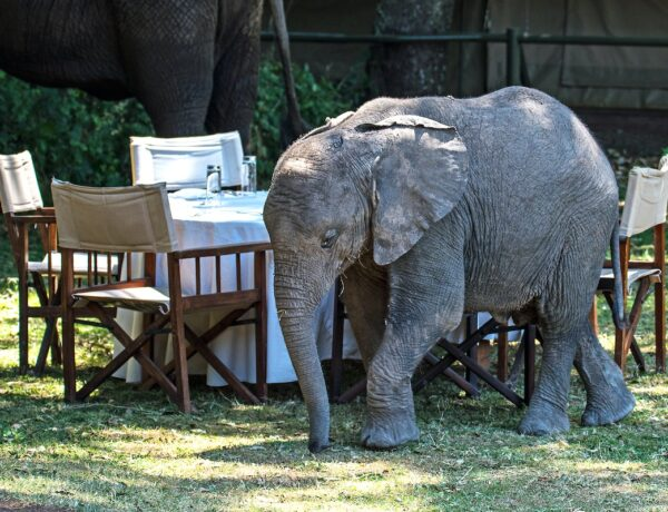 Baby Elephant walking past a breakfast table in a safari camp