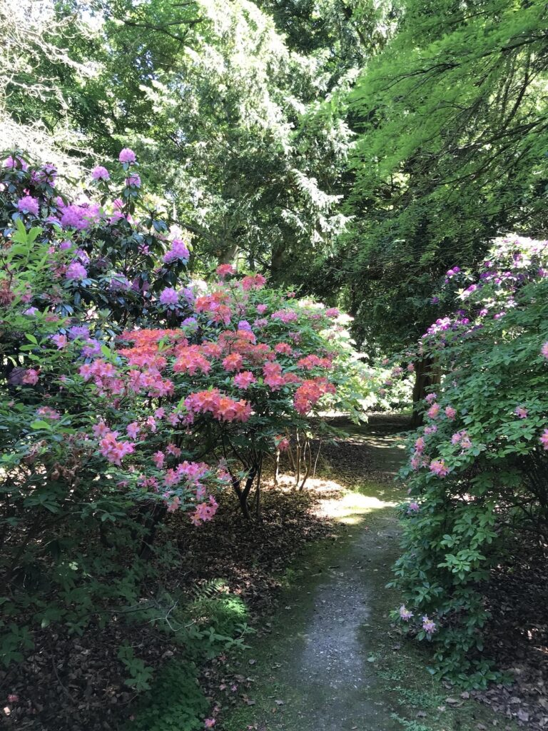 pink and purple rhododendrons and azaleas in the woodland at Doddington Place Faversham