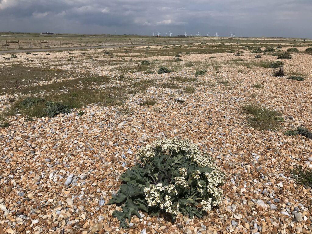 Sea Kale growing on the shingle beach