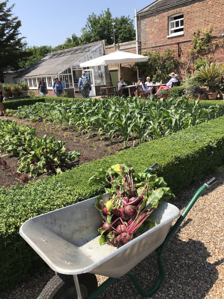 a wheelbarrow with beetroot in the Kitchen Garden at Walmer Castle